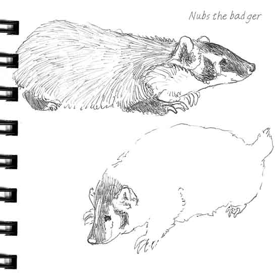 Badger Sketches...