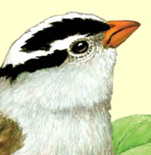 White-crowned Sparrow Detail
